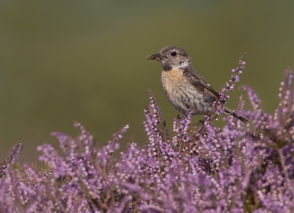 Female Stonechat with Food For Young