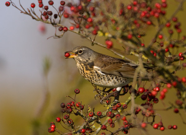 Fieldfare Eating Hawthorn Berry