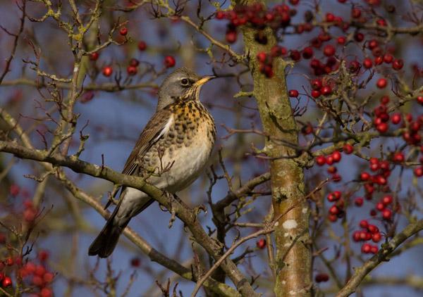 Fieldfare in Hawthorn