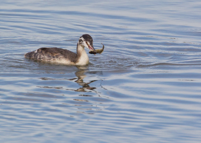 Juvenile Great Crested Grebe with Fish