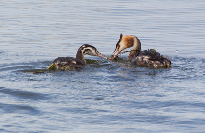 Adult Great Crested Grebe Passing Fish to Juvenile