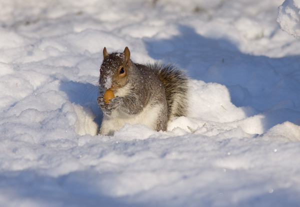 Grey Squirrel Foraging in Snow