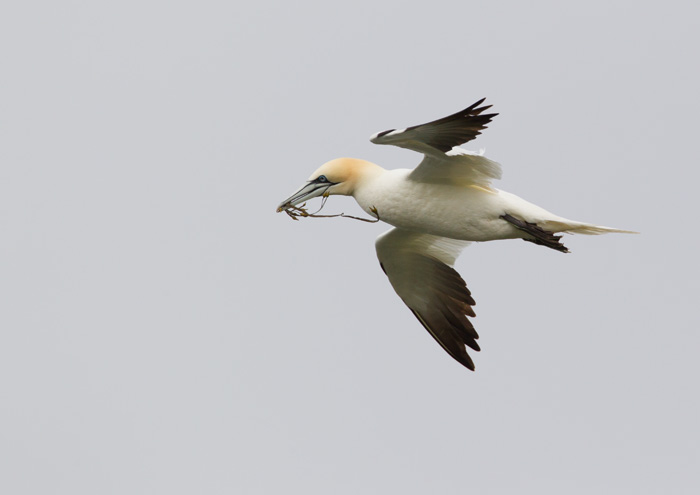 Northern Gannet with Nest Material