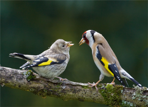 Adult Goldfinch feeding Juvenile