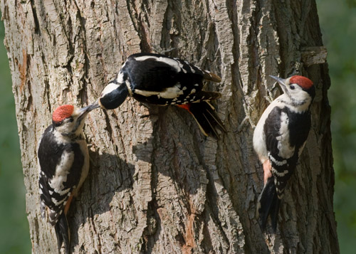 Female Great Spotted Woodpecker with Juveniles