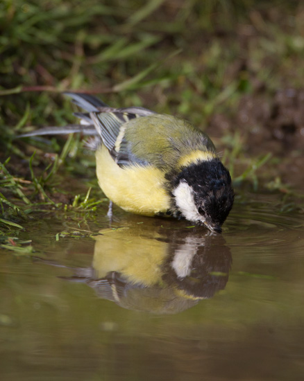 Great Tit at Water