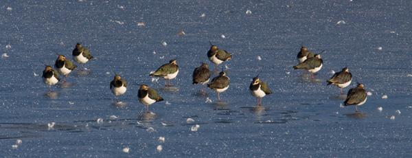 Ice-bound Lapwings