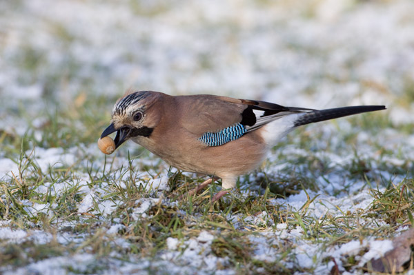 Jay collecting Acorn in Snow