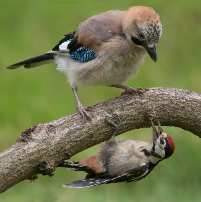 Jay and Great Spotted Woodpecker
