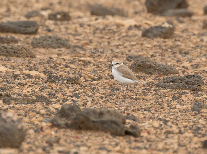 Kentish Plover, juvenile