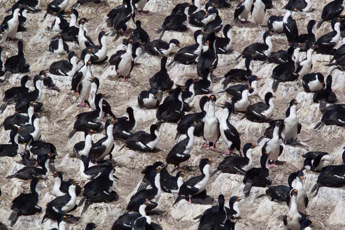 King Cormorant Colony
