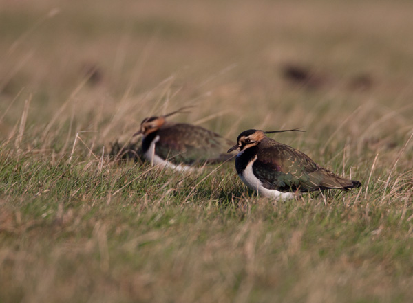 Lapwing in Winter Light