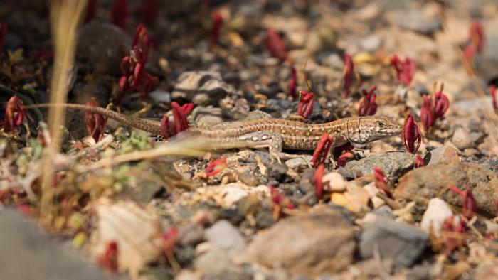 Lizard spp