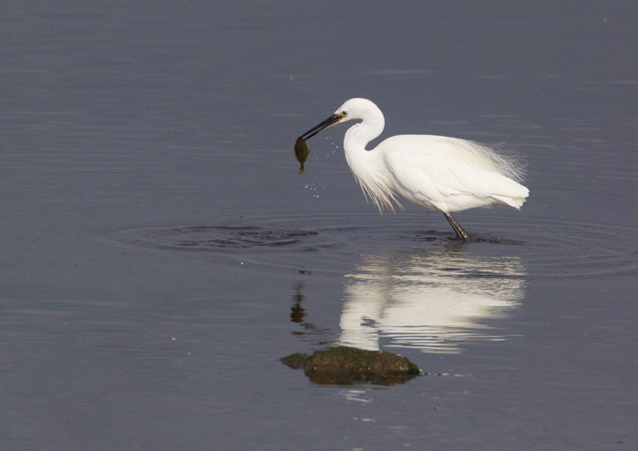 Little Egret with Fish