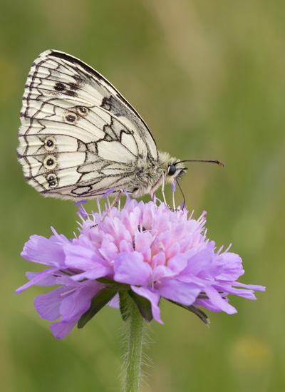 Marbled White on Scabious