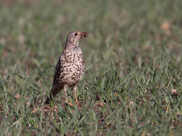 Mistle Thrush with Worms