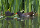 Moorhen Feeding Chick