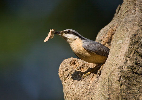 Nuthatch with Faecal Sac
