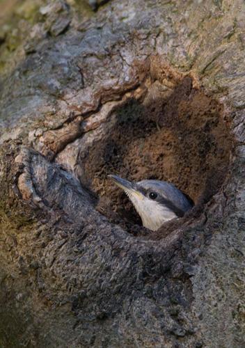 Nuthatch Nestling