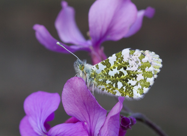 Orange Tip on Honesty