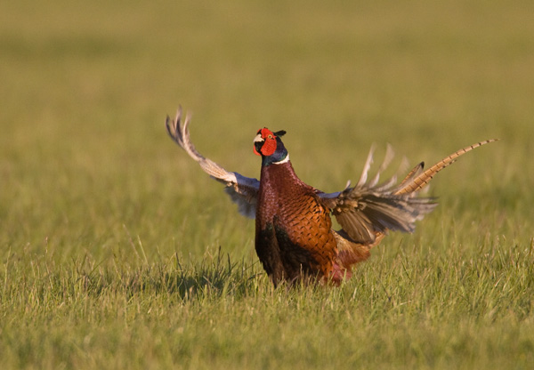 Drumming Pheasant