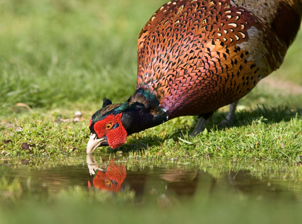 Pheasant at Pond