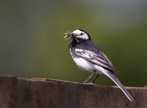 Pied Wagatail with Food for Nestlings