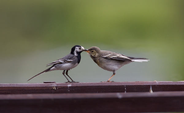 Pied Wagtail - Adult and Juvenile