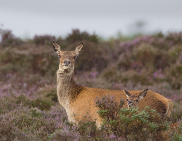 Red Deer Hind and Fawn in Heather