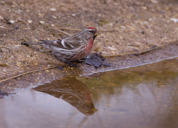 Redpoll at Water