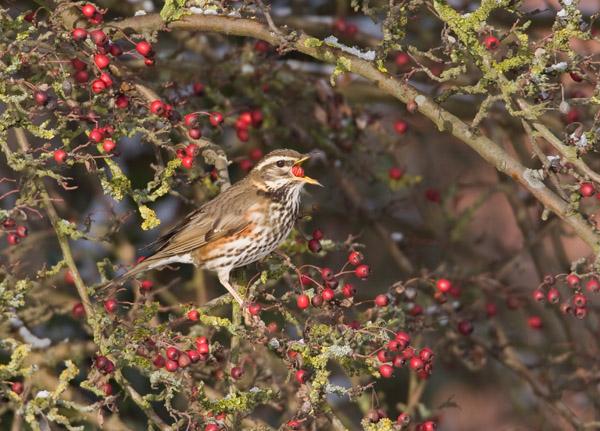 Redwing Feeding on Hawthorn Berries