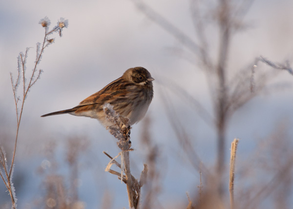 Reed Bunting (1st Winter male)