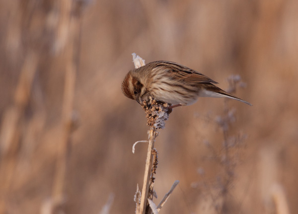 Reed Bunting (female) eating Millet