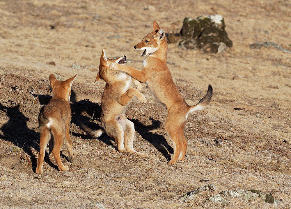 Ethiopian Wolf Pups at Play