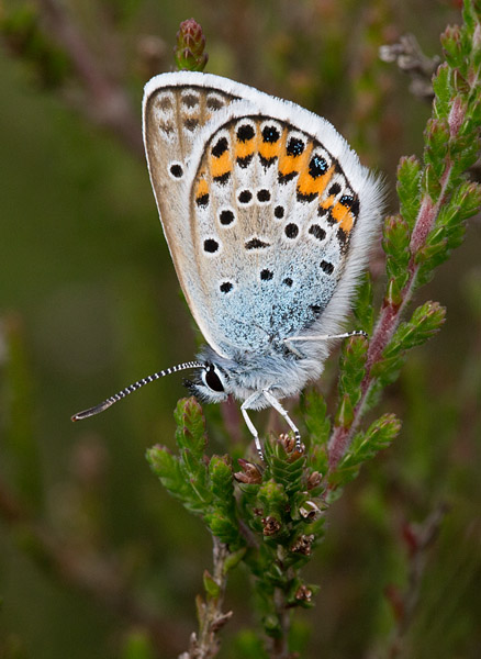 Silver-studded Blue
