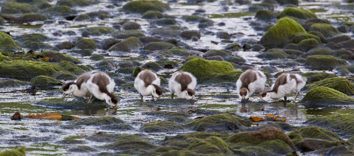 Shelducklings