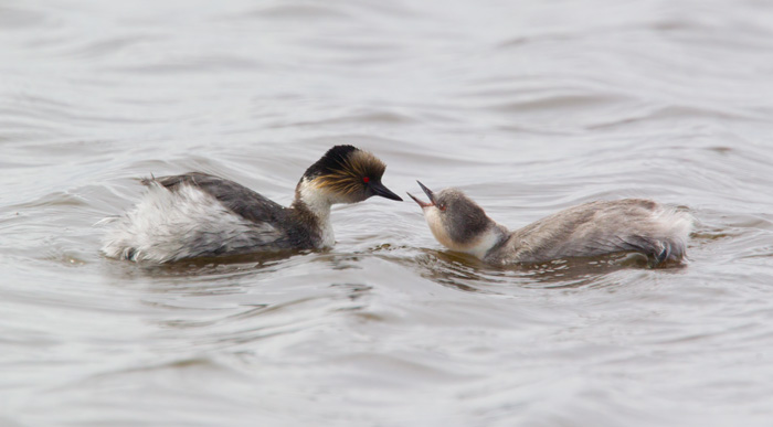 Silvery Grebes