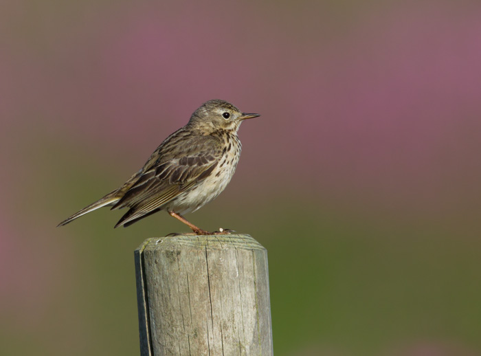 Skylark on Post