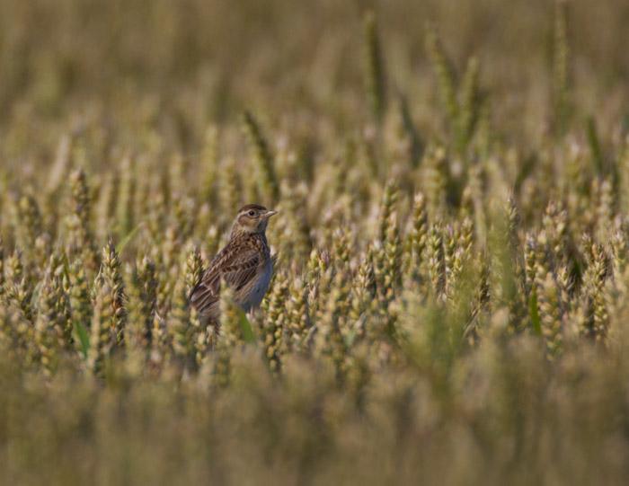 Skylark on Wheat