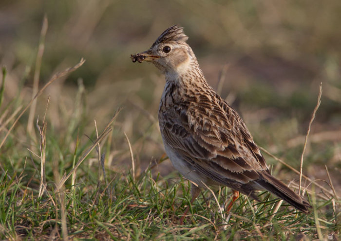 Skylark with Prey