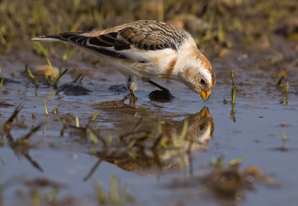 Snow Bunting at Water