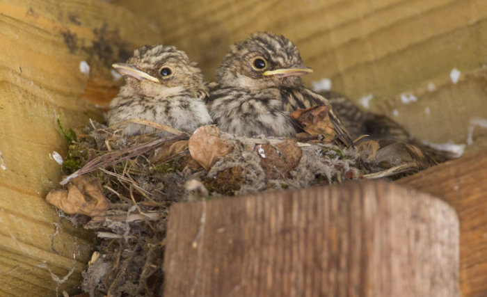 Spotted Flycatcher Chicks