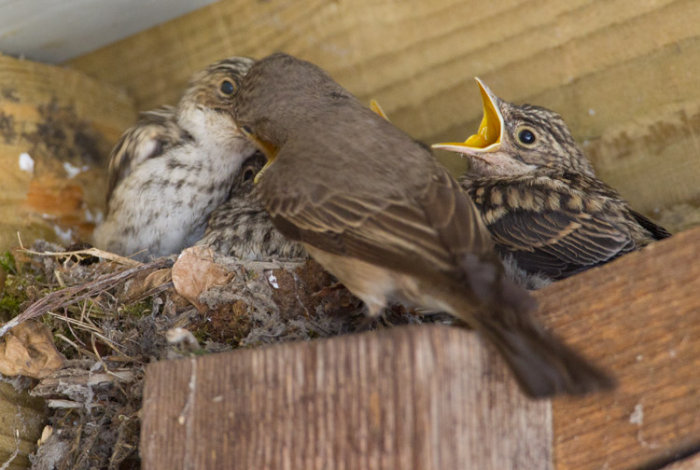 Spotted Flycatcher at Nest