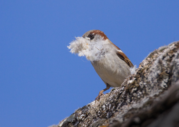 House Sparrow with Nest Material