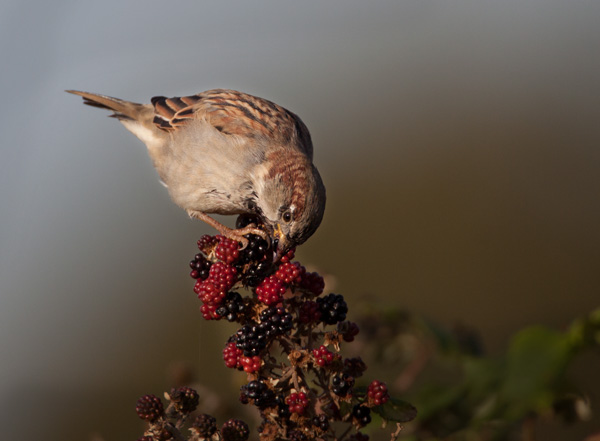 House Sparrow Feasting on Blackberries