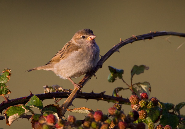 House Sparrow on Brambles
