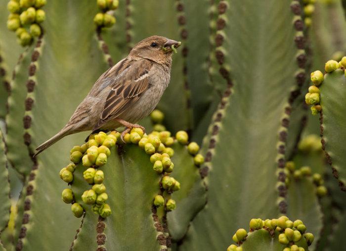 Spanish Sparrow, female