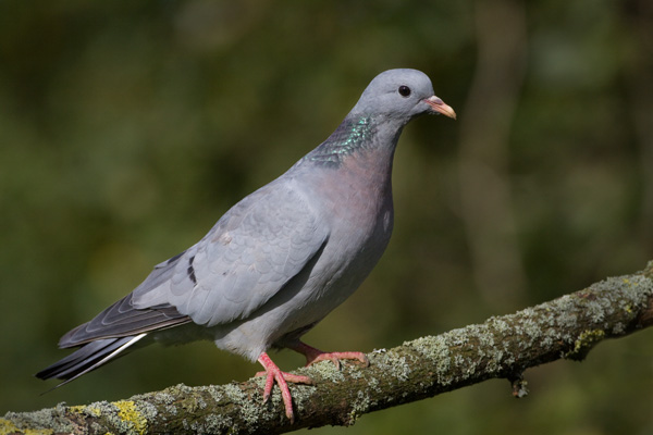 Stock Dove on Branch