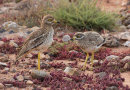 Stone Curlews