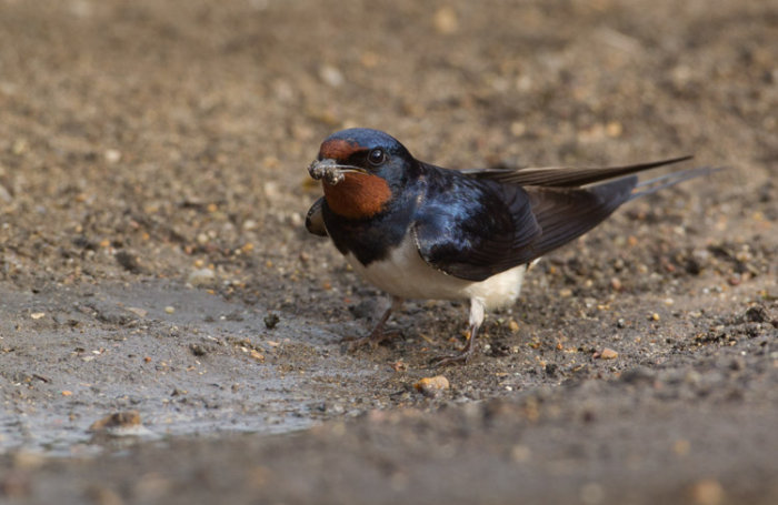 Swallow collecting Mud